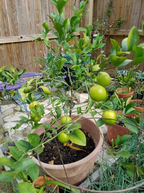 Garden.Lemons
