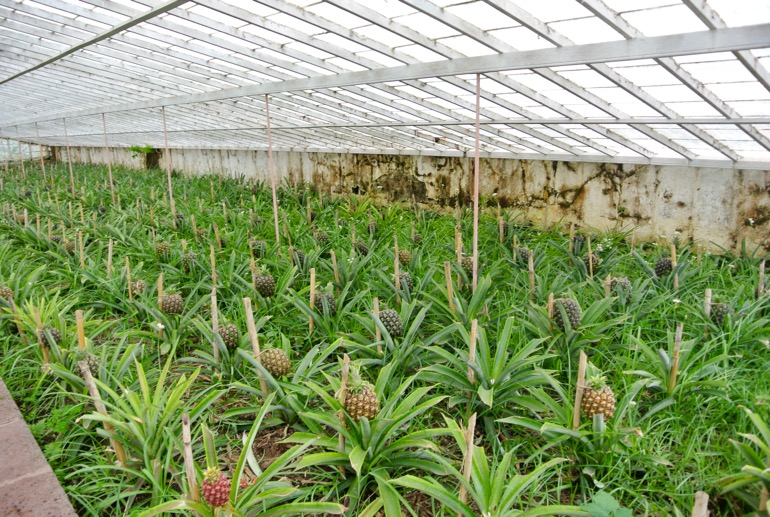 Greenhouse pineapples