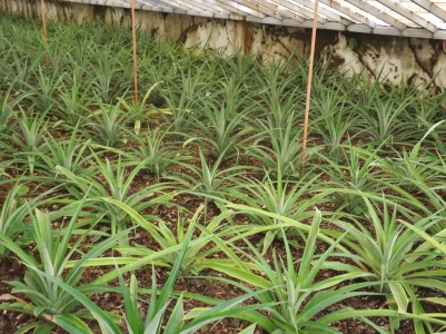 Young pineapple plants in Sao Miguel, Azores